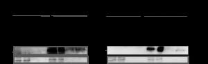 zellen U2OS-68png
